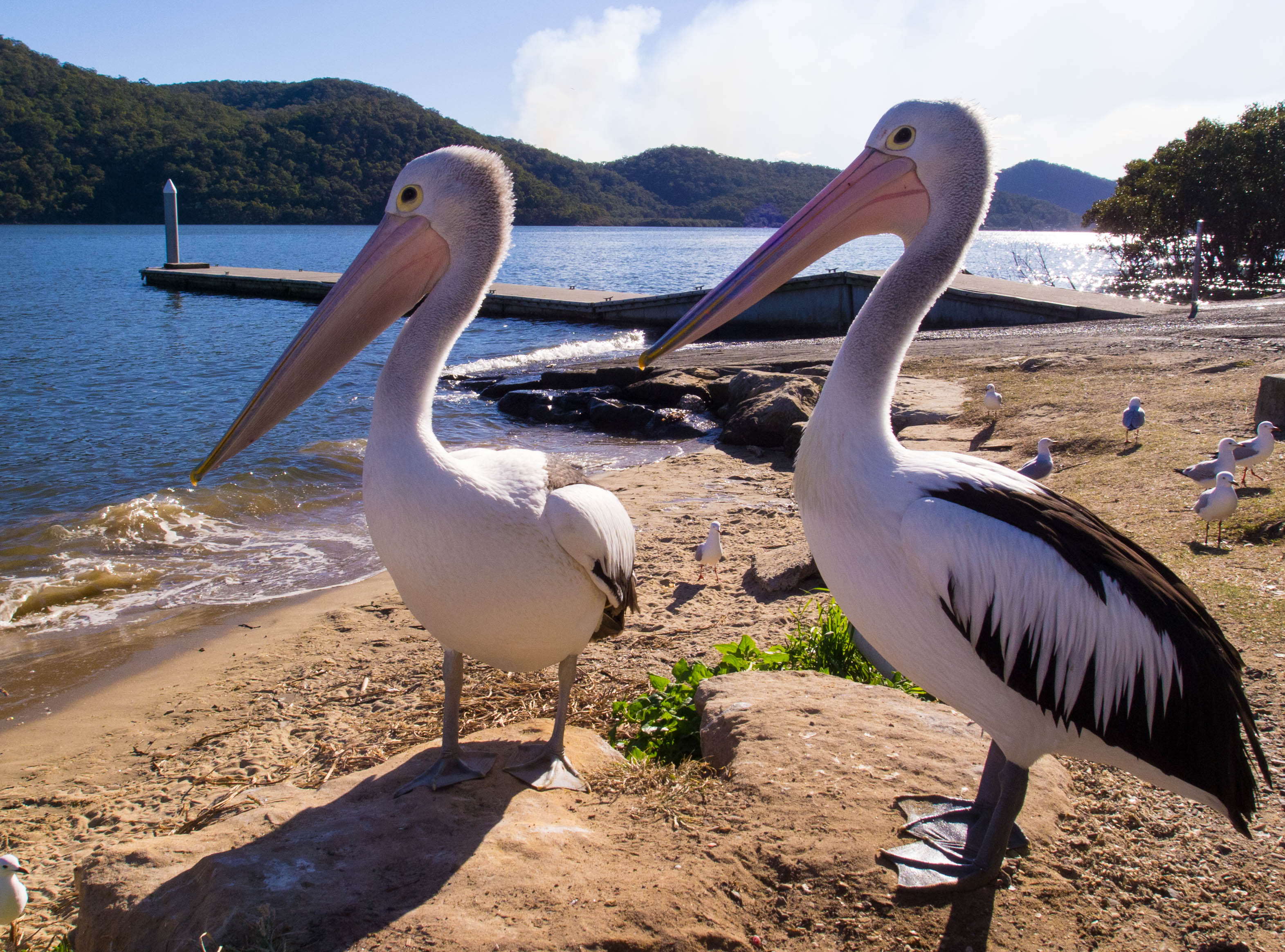 Pelicans at Mooney Mooney boat ramp, Hawkesbury River